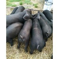 江苏德和种猪场供应优质太湖母猪生态猪商品猪批发