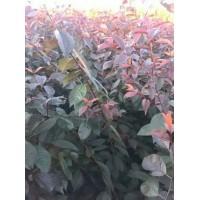 红叶李苗价格 密枝红叶李苗 绿篱苗批发,本基地面向新疆