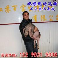 江苏德和种猪场太湖母猪今日价格